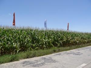 Btコーン畑には、シンジェンタ(遺伝子組み換えの種苗会社)の旗が