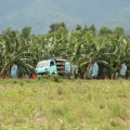 ネグロス島にもバナナプランテーションがやってきた